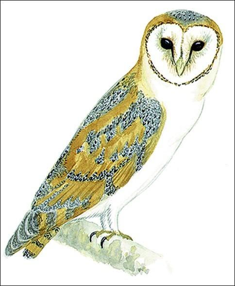 Hedwige (Hedwig en anglais), est-ce une chouette ou un hibou ?