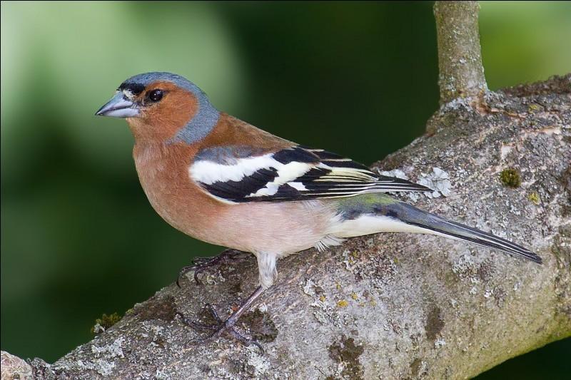 Quizz les oiseaux des jardins quiz oiseaux - Le manuel des jardins agroecologiques ...
