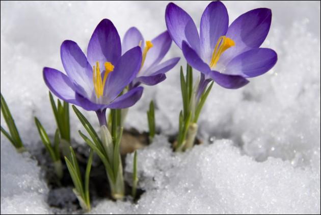 Annonçant la fin de l'hiver, blanches ou violettes, elles fleurissent en montagne, dès la fonte des neiges, que sont ces fleurs ?
