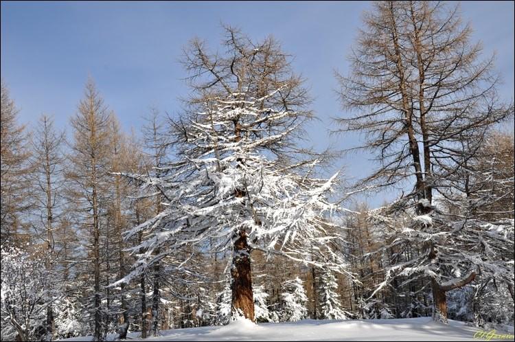 Quel est le seul conifère qui perd ses aiguilles en hiver ?