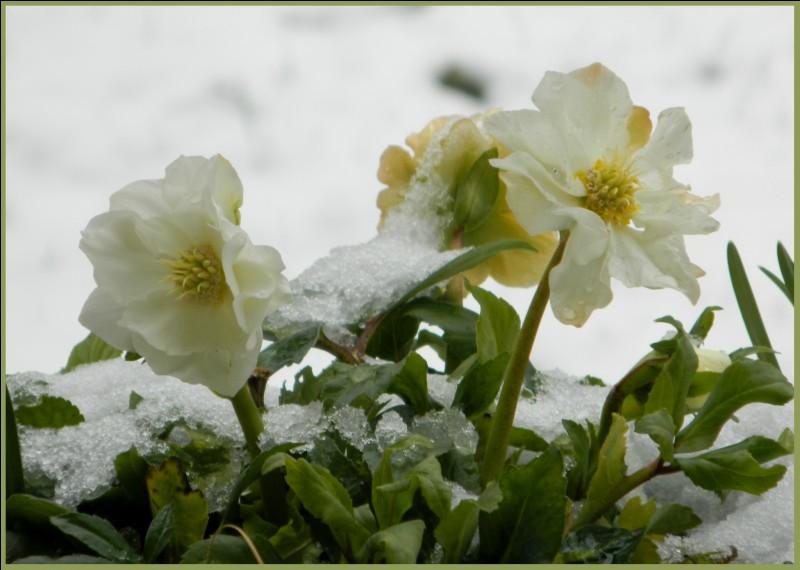 Sous quel nom connaît-on la fleur nommée hellébore ?