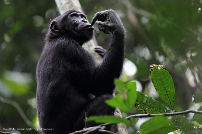 Quizz animaux 1 la rencontre du bonobo quiz animaux - Quel age a william leymergie ...