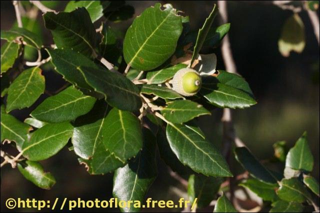 Dans quelle région aurez-vous peu de chance de trouver du chêne vert (Quercus ilex) ?