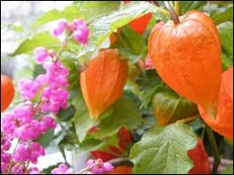 acai fruit biwa fruit