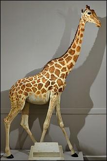 Quizz autour de la girafe quiz culture g n rale - Girafe dans madagascar ...