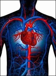 Dans le corps humain, on trouve trois sortes de vaisseaux sanguins : les artères, les veines et les capillaires.Combien mesure le système circulatoire formés par ces vaisseaux ?