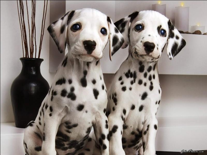 Combien y a-t-il de dalmatiens ?