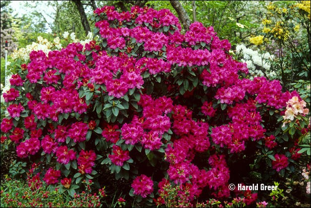 Ces arbustes trouveront aussi leur place dans le jardin, moyennant un peu de terre de bruyère !