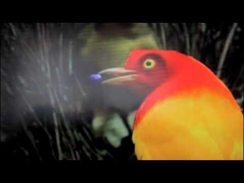 Quel est le nom de cet oiseau paradisier ?