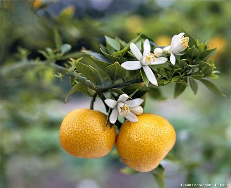 Comment s'appelle cette orange amère ?