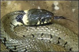 Quelle affirmation est correcte en ce qui concerne la différenciation entre une vipère et une couleuvre ?