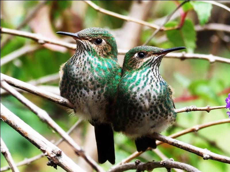 Au Costa-Rica, on a vu des colibris prélever des cheveux sur la tête des gens pour en tapisser leurs nids !