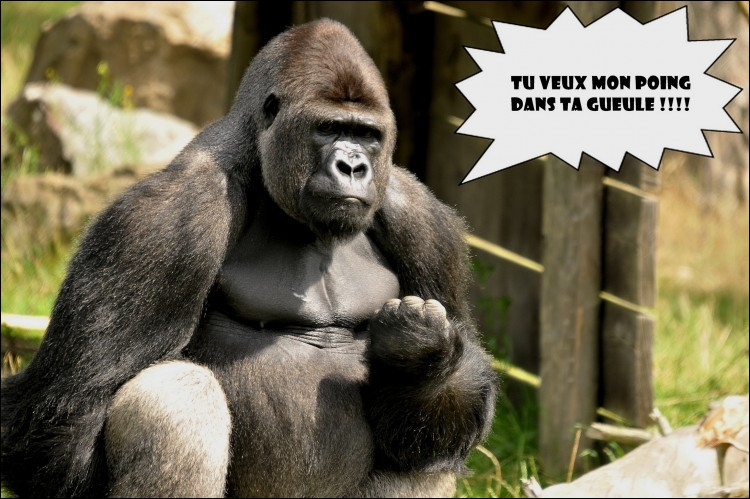 Lorsque madame gorille a convenablement excité monsieur gorille, le sexe de celui-ci peut allègrement dépasser 50 centimètres !