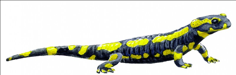 Les membres de la salamandre peuvent repousser !