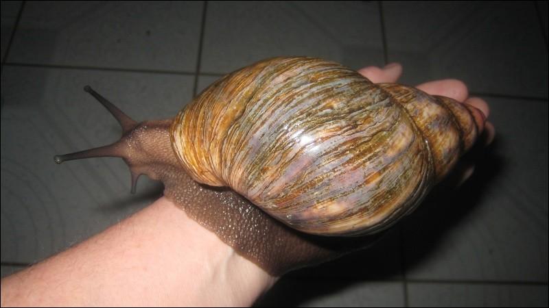 Certaines espèces d'escargots terrestres sont carnivores !