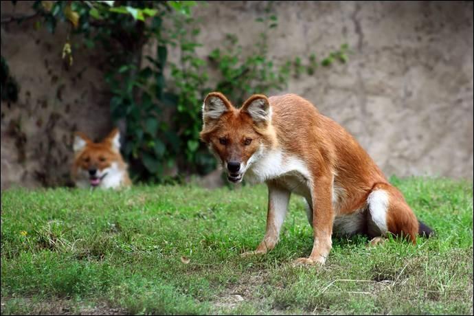 On trouve ce chien sauvage en Australie !
