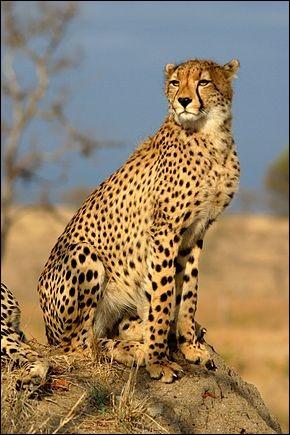 Quelle est la vitesse maximale d'un guépard ?