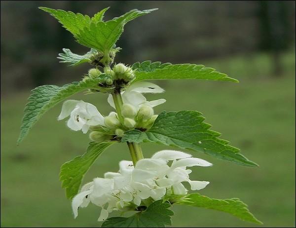 Fleurs urticantes for Plante urticante