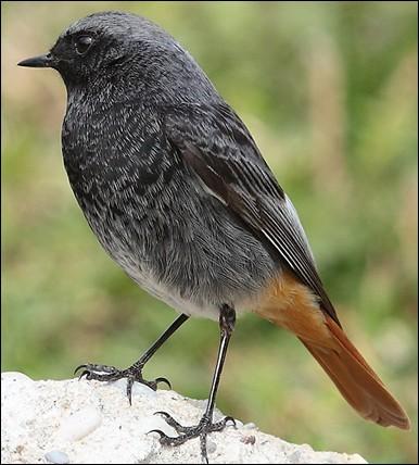 Son nid est un petit chef- d'oeuvre. Son vol est fait de courtes ondulations éclairées par des taches vives. C'est le chardonneret.