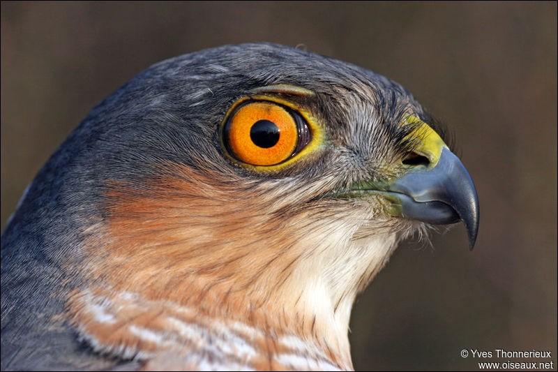 Oiseau qui tient une place indispensable dans l'équilibre des espèces. Ses qualités exceptionnelles en vol font merveille lors des parades. Admirons sa sobre livrée, sa silhouette nerveuse et son oeil d'or. Vous reconnaîtrez facilement l'épervier d'Europe.