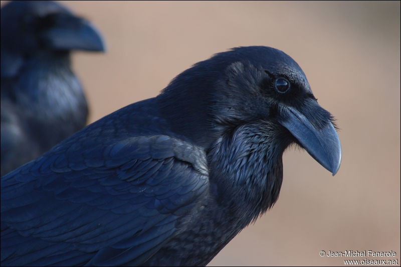 """C'est l'un des oiseaux les plus familiers de nos campagnes. On l'appelle communément """"corbeau"""", c'est la corneille noire.Où est-elle ?"""