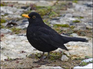 Son nom est devenu dans la langue française synonyme d'étourdi, c'est un oiseau vif et querelleur, reconnaissez l'étourneau sansonnet.
