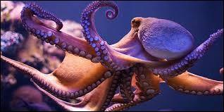 Une pieuvre possède 3 cœurs.