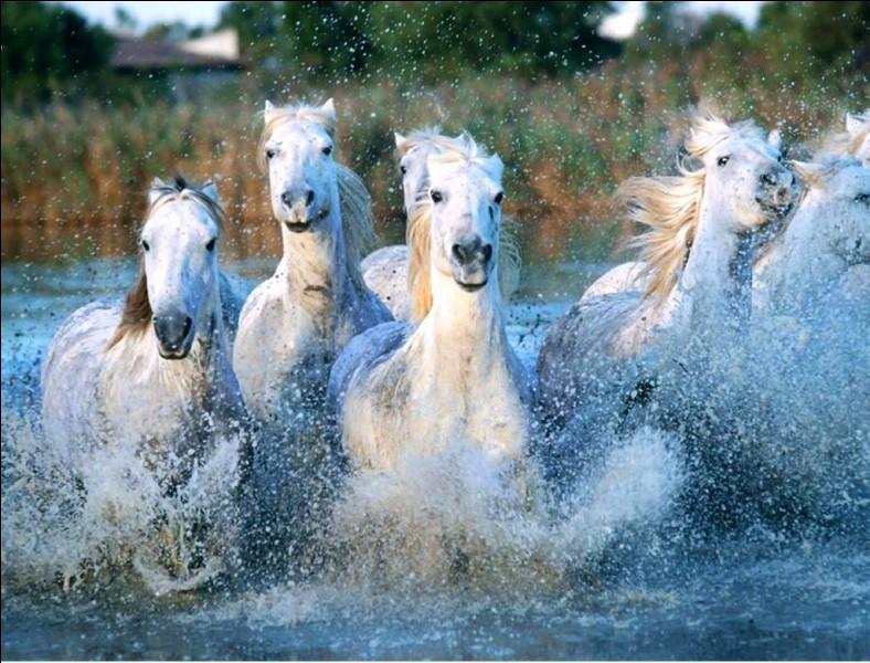 Quelle est la race de ces chevaux ?