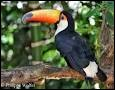 Comment s'appelle scientifiquement le toucan toco ?