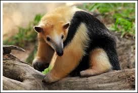 Animaux - Quel est le nom de ce mammifère au long museau et à la queue préhensile ?