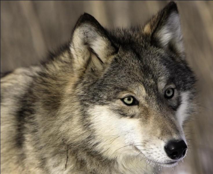 À quelle espèce appartient le loup ?