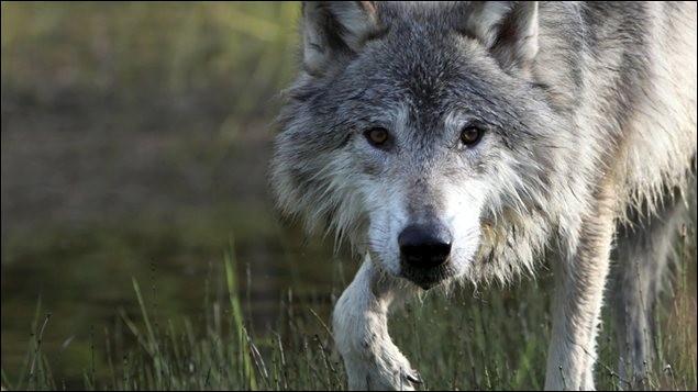 Quel est le nom latin du loup gris ?