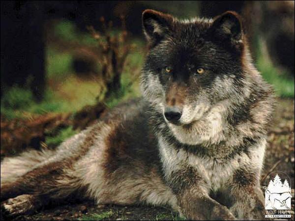 Comment s'appelle le chef d'un groupe de loups ?