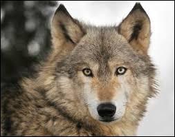 Quel est le nom du loup inférieur aux autres ?
