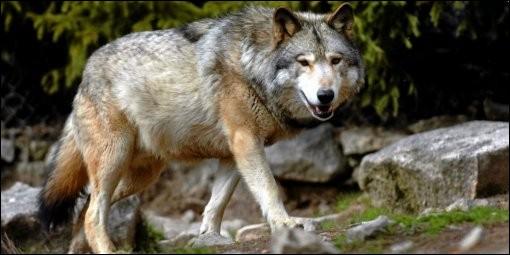 Peut-il y avoir des loups solitaires ?