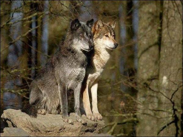 Quel est le sens le plus développé chez le loup ?
