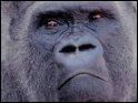 Parmi ces noms, lequel n'est pas un gorille du monde du cinéma/animé ?