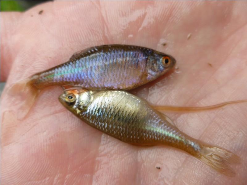 Petit poisson de rivière, qui pond ses oeufs dans des moules !