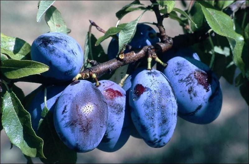 Quel est le nom de ce fruit qui ressemble beaucoup aux prunes ?