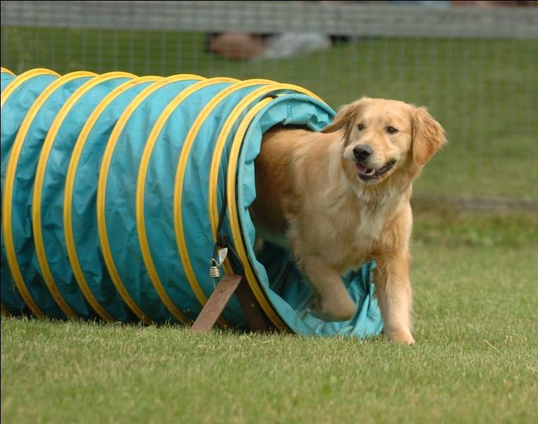 Quelle est la meilleure race de chien pour faire de l'agilité ?