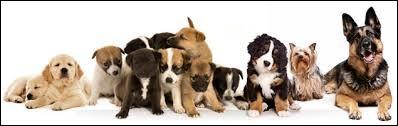 Combien y a-t-il de races de chien dans le monde ?