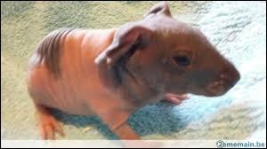 Y a-t-il des cochons d'Inde de la race ''skinny'' ?