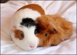 Dans un pays, il est interdit d'acheter seulement un cochon d'Inde ; il est plutôt préférable d'en acheter deux.