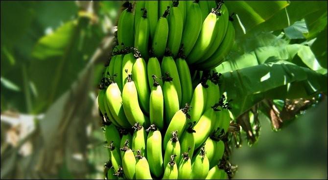 Mettez-vous une fraction de seconde à la place d'un producteur de bananes. Comment faites-vous pour récolter vos bananes ?
