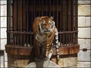 Dans quelle émission télévisée peut-on voir ce tigre ?