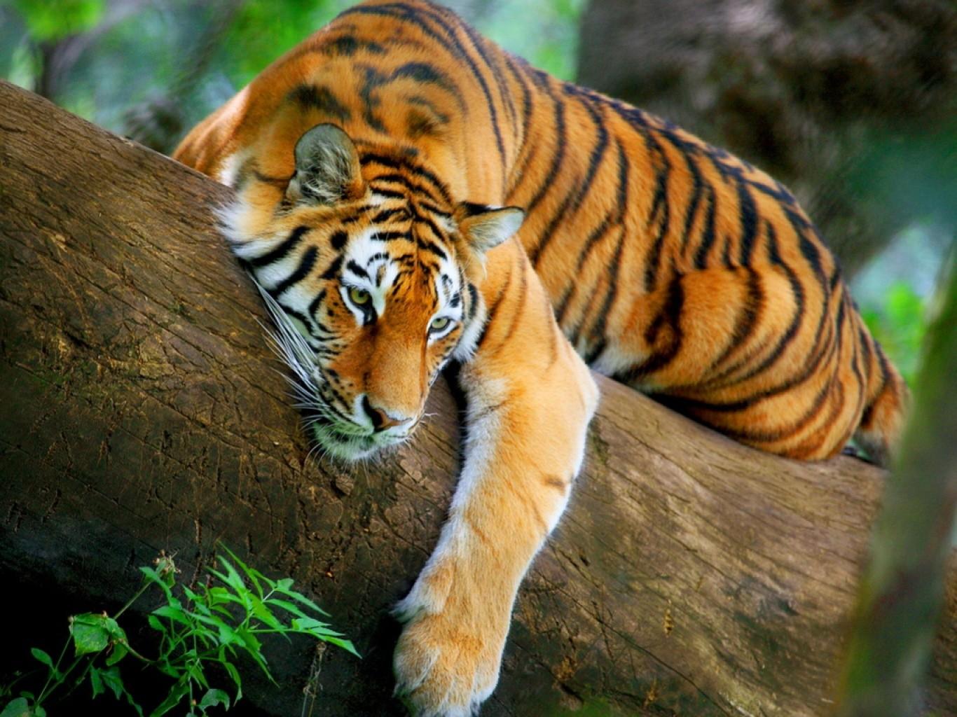 Les facettes du « Tigre »