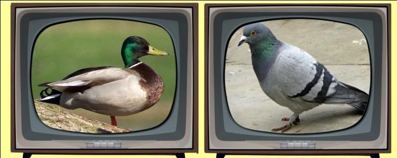 Quel oiseau peut-être ramier, biset ou colombin ? Éteignez la mauvaise télévision !