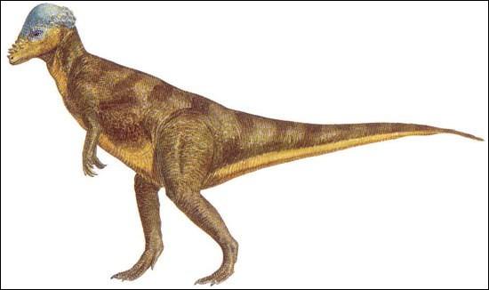 La découverte du majungatholus, dans les années 70, prouvait que les pachycéphalosauriens (dinosaures à tête dure) s'étaient répandus...