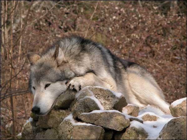 Que signifie « avoir une faim de loup » ?