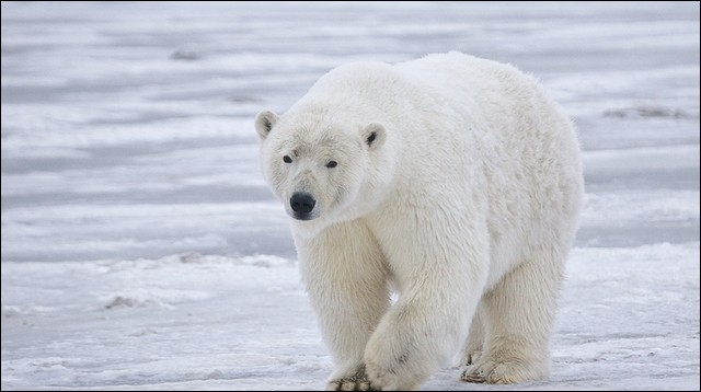 De quelle couleur est la peau d'un ours polaire ?